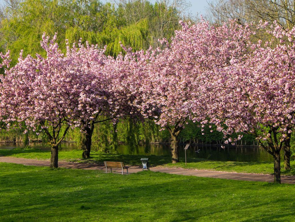 Wildkirschenbäume in voller Blüte auf dem Emder Wall. Eine Bank mit Blick auf das Wasser lädt zum Verweilen ein.