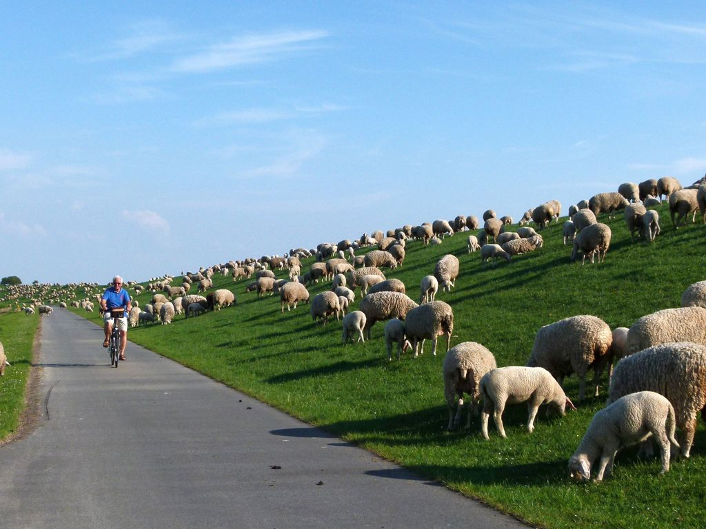 Ein Radfahrer fährt durch eine Schafherde am Deich entlang